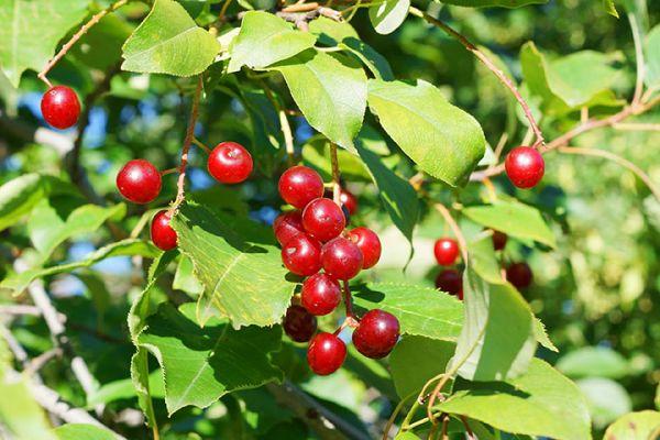 Pin Cherry Tree Seedlings buy online