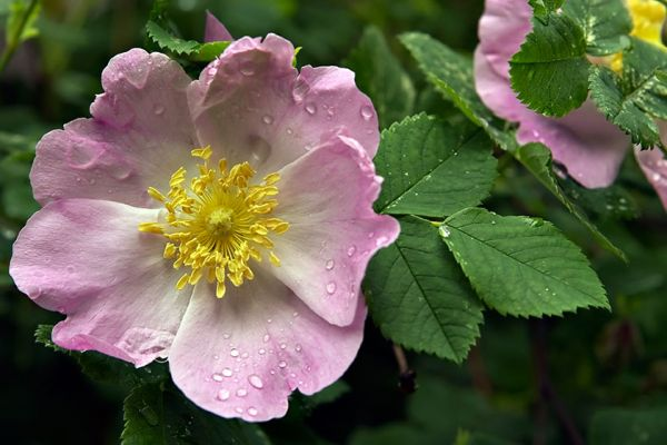 prickly rose seedlings for sale online