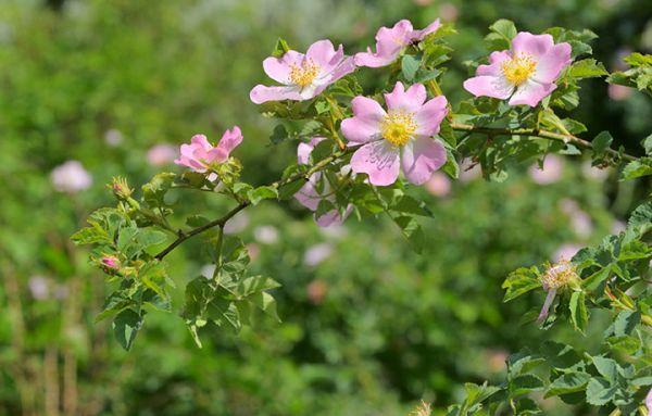 Rose bush Seedlings buy online