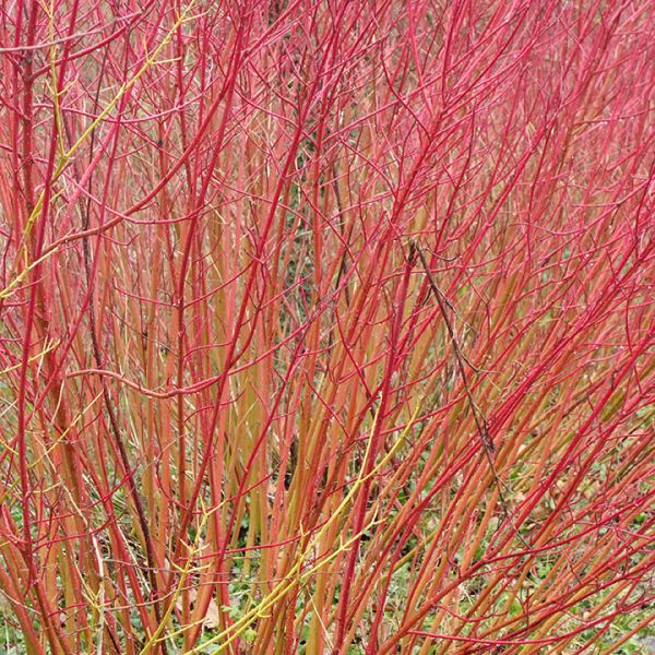 Buy red dogwood seedlings online