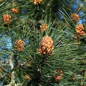 Scots Fir Seedlings online