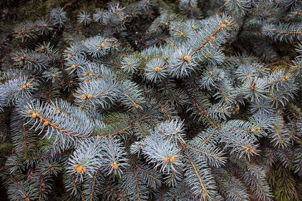 Buy spruce tree seedlings online