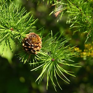 buy Tamarack larch Seedlings online
