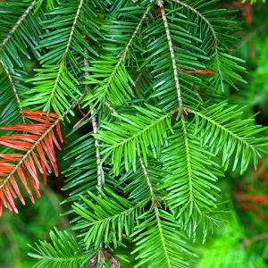 Balsam fir Seedlings for sale