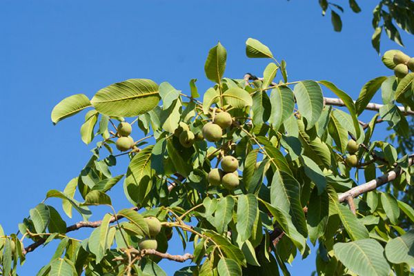 black walnut tree Seedlings for sale