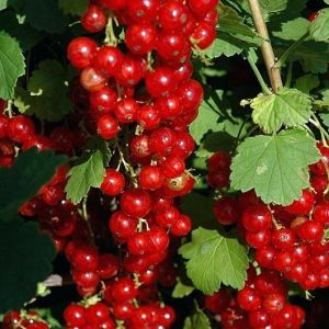 red-lake-currant Seedlings for sale