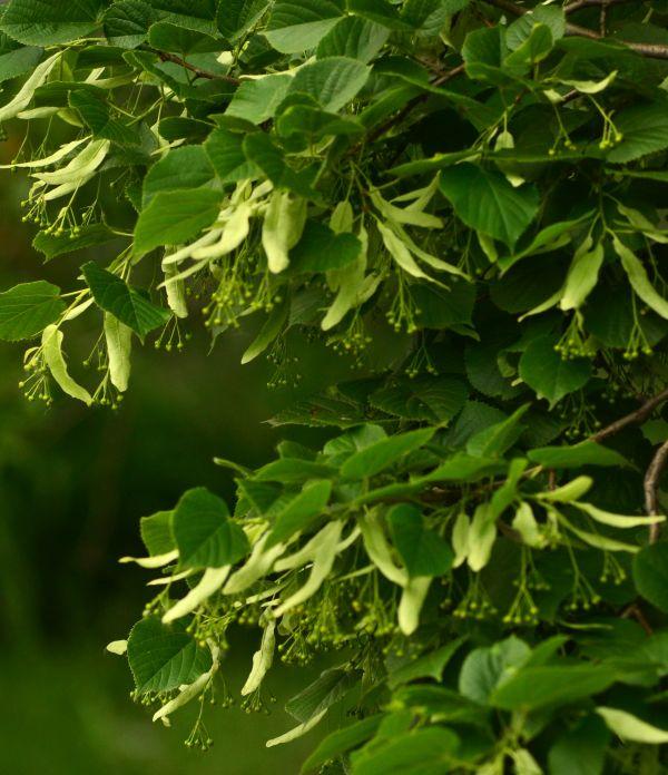 Tree Seedlings For Sale online